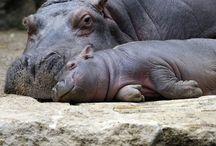 HyppoS / Hippopotami