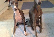 Tindra & Fiona / Mina två italienska vinthundar, mina bäbisar.