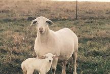 Animals on Moss Mountain Farm / Barnyard residents