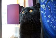 Brittish Shorthair / Collection of pictures of my black brittish shorthair Bagheera