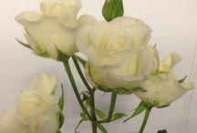 Blomsterliste greinrose / Her har jeg bilder av greinroser de er ikke like mye solgt i butikkene som rosen.  Her har jeg bilde av snittgreinroser det er disse blir også brukt i dekorasjoner og buketter i blomsterbutikkene. De symboliserer det samme som rosen altså: Kjærlighet, livsglede, hemmelighet.