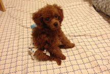 my baby / My baby. Tomu. toy poodle.