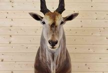 African Eland Taxidermy Mounts