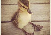 Ducks / Don't be sad peeps, look at baby ducks.