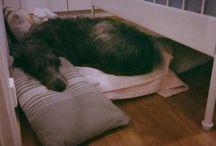Scottish Deerhound / Lily <3