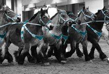 Salon International de l'Agriculture 2015 / Les chevaux de trait
