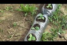 plantarea cadtrsvetilor