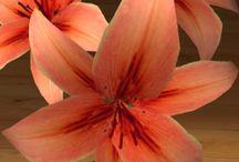Lilia / Rodzaj bylin cebulowych z rodziny liliowatych, obejmujący około 75 gatunków. Wiele z nich to znane rośliny ozdobne. Gatunkiem typowym jest lilia biała.