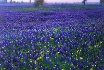 modrý kytky