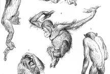 primate gesture drawing
