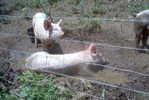 Homestead Pigs