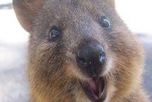 Quokka & Wombat