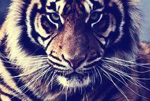 Tijgers en leeuwen