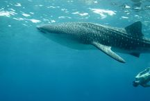 END OF APRIL 2014 CRUISE ON MY DUKE OF YORK / WHALE SHARK ENCOUNTER