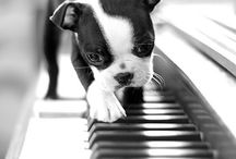 Boston Terrier / The Boston Terrier, a dog that I love.  / by Adelyne Gagné