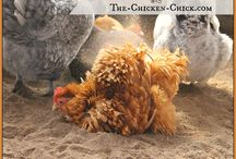 Dust Bath Chickens / Chickens and more