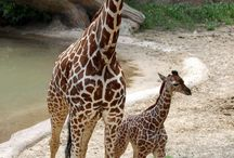 Giraff ❤