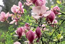 Spring Blooming Trees for Modest Sized Gardens / Companion to our article on Spring-Blooming Trees for Small Gardens in the March/April 2017 issue of The American Gardener magazine ahsgardening.org/gardening-resources/gardening-publications/the-american-gardener/march-april-2017