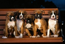 Boxers / by Middendorf Animal Hospital