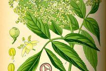 Byliny herba