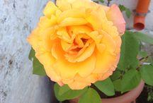 Rosa / Rosa bicolore