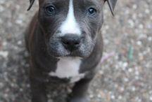 pitbull *.*