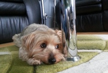 Yorkie  / Toby (Yorkshire terrier) / by Brooke Toler Belote