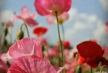 Papaveri / Flowers