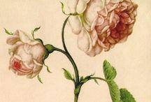 •18th Century flora botanica illustration / School
