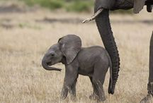 Family Elephantidae. / Elephants.