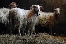 pecore sheep Schafe