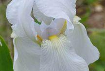 iris florentina germanica orris
