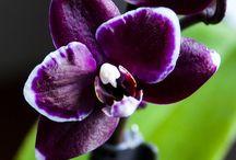 Grenada Orchids