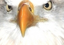 Eagle / by Mary Ayer-Couger