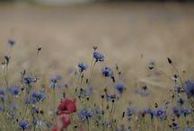 Garden / Chrpy