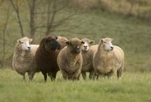 Livestock/sheep