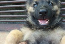 German Shepherd Puppies / German Shepherd Puppies
