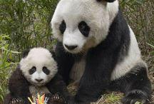 Pandas / by Lelete @