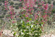 Perfect Penstemons / by National Home Gardening Club
