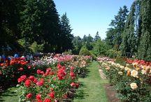 Upcoming Rose Garden