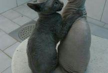 Szfinx cicák