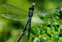 Dragonflies / The Dragonfly symbolizes good luck, strength, peace, harmony, light and transformation, the unconsciousness mind, defeat of self-created illusions, opening one's eyes, and maturity. As a creature of the wind, the dragonfly totem represents change.