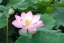 lotus~연꽃