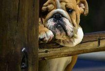 Englanninbulldog