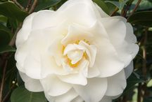 Winter Plants / Trees, shrubs and flowering plants that bring your winter garden to life again.
