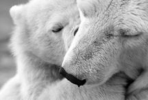 Polar Bear / Polar bear. Black & White