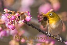 Cherry Blossoms and The Japanese White Eye