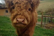 Curly cows