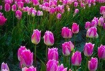Tulips  / by Nina Goode