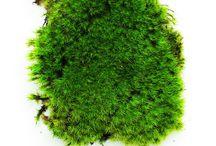 Moss / Siempre musgo